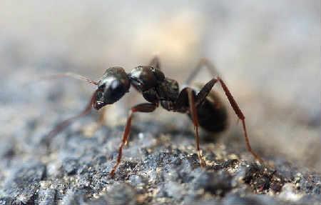 _муравей