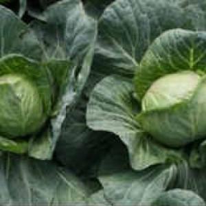 Технология выращивания капусты