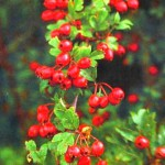 Боярышник полезные свойства и противопоказания_зрелые плоды