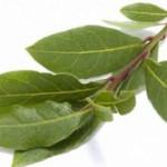 Лечение лавровым листом