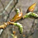 Дерево тополь тополиные почки