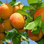 Полезные свойства абрикоса