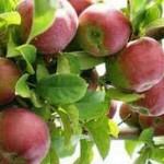 Легкие яблочные пироги