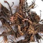 Лечебные свойства маральего корня