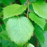 Свойства березовых листьев