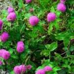 Клевер красный- лечебные свойства и противопоказания_соцветия