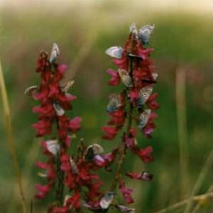 Красный корень: лечебные свойства и противопоказания_ растение на поле