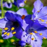 Синюха голубая-прим0енение и противопоказания_сбор синюхи голубой