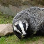 Барсучий жир лечебные свойства и противопоказания_барсук