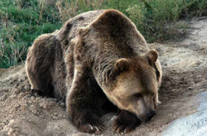 Медвежий жир лечебные свойства и противопоказания_медведь на земле